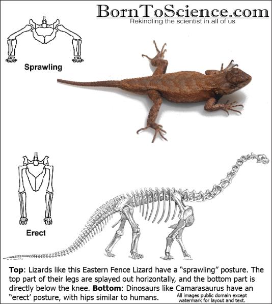 camarasaurus_skeleton4
