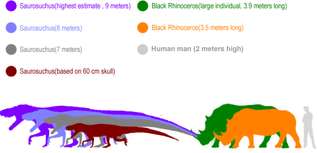 Comparison of Saurosuchus and Black Rhinos. I added the approximate side of a 6ft tall human for reference as well.