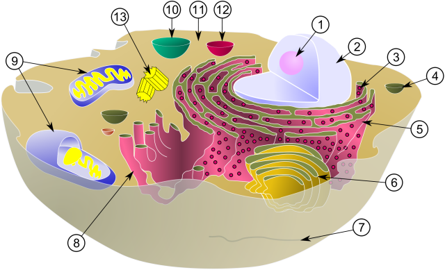 A diagram of the organelles in a simplified cell. For this post, focus on 2, 3, and 5. 2 is the nuclease – the home of DNA and transcription. 5 is the ER (endoplasmic reticulum) – the home of ribosomes (3) and translation. Creative Commons