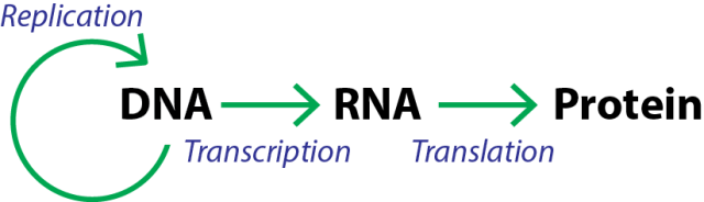 The Central Dogma: The DNA must be replicated and divided evenly between the new cells every time a cell divides. DNA is transcribed into RNA; RNA is translated into protein. Nothing in biology is really this simple, but this is the basic model.