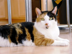 Calico Cat female