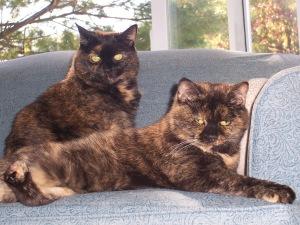 Calico Cat female