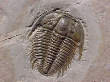 Han solo (trilobite)
