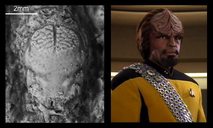 comparison of Ltn Worf and Annuntidiogenes worfi