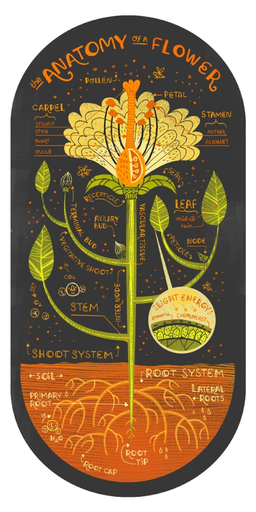 Flower Anatomy, by Rachel Ignotofsky