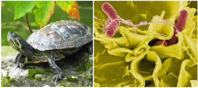 Turtles and Salmonella, 8 Cuddly Creatures and the Dark, Deadly Diseases They Carry