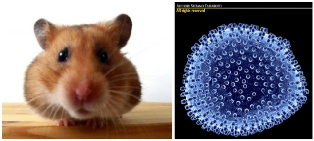 Hamsters and the LCM virus (Lymphocytic choriomeningitis, 8 Cuddly Creatures and the Dark, Deadly Diseases They Carry