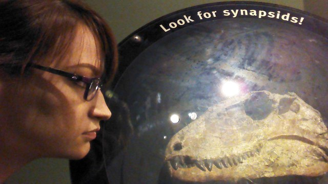 Synapsids, ancient ancestors of Mammals and other animals at the Field Museum