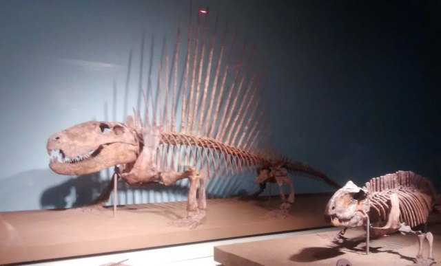 Dimetrodon, an early synapsid at the Field Museum